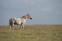 Spotted horse Royalty Free Stock Photos
