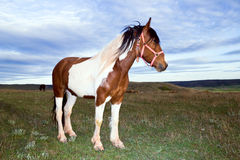 Spotted horse Royalty Free Stock Images