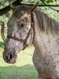 Spotted horse Stock Photography