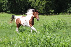 Spotted Horse Running. Spotted Blue Eyed Horse Running in Summer Pastures Stock Images