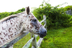 Spotted Horse. White and Brown Spotted Horse Stock Photos