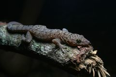 Spotted house gecko. Malaysian forest animals stock image