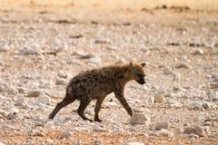 Spotted Hyaena. Safari Etosha, Namibia Royalty Free Stock Photography