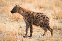 Spotted Hyaena. Safari Etosha, Namibia Royalty Free Stock Images
