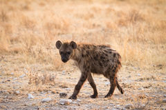 Spotted Hyaena. Safari Etosha, Namibia Africa Stock Images