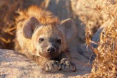 Spotted hyaena (Crocuta crocuta) Stock Image