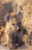Spotted hyaena (Crocuta crocuta) Stock Photos