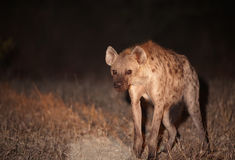 Spotted hyaena (Crocuta crocuta). Single Spotted hyaena (Crocuta crocuta) standing alert at night in South Africa Royalty Free Stock Photos