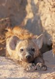 Spotted hyaena (Crocuta crocuta) Royalty Free Stock Photos