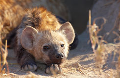 Spotted hyaena (Crocuta crocuta) Stock Photo