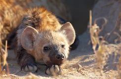 Spotted hyaena (Crocuta crocuta) Stock Photo