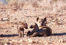 Spotted hyaena (Crocuta crocuta) Royalty Free Stock Image