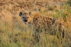 Spotted Hyaena (Crocuta crocuta). The Spotted Hyena (Crocuta crocuta), also known as the Laughing Hyena, Cape Wolf or Tiger Wolf is the largest species of hyena Stock Photography