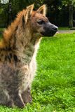 Spotted hyaena, Crocuta crocuta Stock Photo