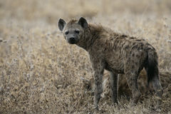 Spotted hyaena, Crocuta crocuta, Stock Images