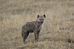 Spotted hyaena, Crocuta crocuta, Royalty Free Stock Photos