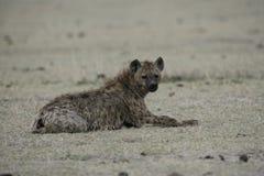 Spotted hyaena, Crocuta crocuta, Stock Image