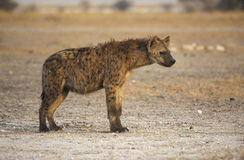 Spotted hyaena, Crocuta crocuta. Single mammal Royalty Free Stock Images