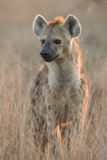 Spotted Hyaena, (Crocuta crocuta), South Africa. Spotted Hyaena, (Crocuta crocuta) in South Africa's Kruger Park in the early morning light Royalty Free Stock Image