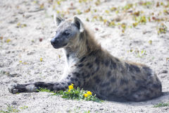 Spotted Hyaena, Crocuta crocuta is a strong animal Royalty Free Stock Photos