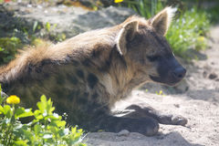 Spotted Hyaena, Crocuta crocuta is a strong animal Royalty Free Stock Images