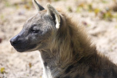 Spotted Hyaena, Crocuta crocuta is a strong animal Royalty Free Stock Image