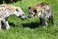 Spotted Hyaena, Crocuta crocuta is a strong animal Royalty Free Stock Photo