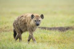 Spotted Hyaena (Crocuta crocuta) Tanzania. Spotted Hyaena (Crocuta crocuta), Ngorongoro Crater Tanzania Stock Photos