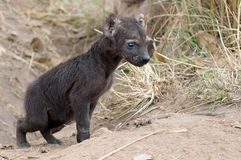 Spotted Hyaena cub (Crocuta crocuta). Spotted Hyaena (Crocuta crocuta) cub in Kruger National Park, South Africa Stock Image