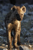 Spotted Hyaena cub - Namibia. A Spotted Hyaena cub in Etosha National Park in Namibia Royalty Free Stock Photos