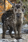 Spotted Hyaena cubs - Namibia royalty free stock photos