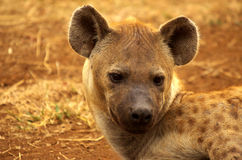 Spotted hyena. Portrait of a spotted hyena Stock Photo