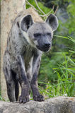 Spotted hyaena. Hyena are stare at us with forest background Royalty Free Stock Photography