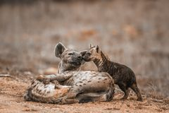 Spotted hyaena in Kruger National park, South Africa royalty free stock photography