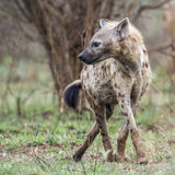 Spotted hyaena in Kruger National park, South Africa Stock Photos