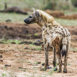 Spotted hyaena in Kruger National park, South Africa Royalty Free Stock Images