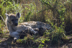 Spotted hyaena in Kruger National park, South Africa Stock Image