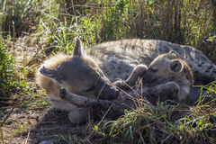 Spotted hyaena in Kruger National park, South Africa Stock Images