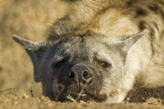 Spotted hyaena in Kruger National park, South Africa Royalty Free Stock Photo