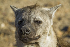 Spotted hyaena in Kruger National park, South Africa Royalty Free Stock Photos