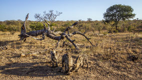 Spotted hyaena in Kruger National park, South Africa Stock Photo