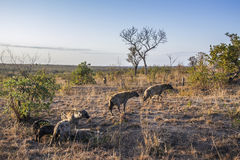 Spotted hyaena in Kruger National park, South Africa Stock Image