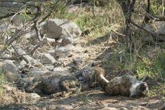 Spotted hyaena in Kruger National park Stock Image