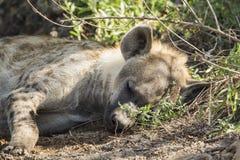 Spotted hyaena in Kruger National park Royalty Free Stock Image