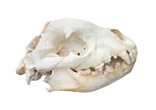 Spotted Hyaena skull isolated on white background with clipping Stock Images