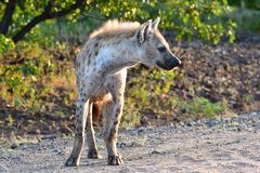 Spotted hyaena Royalty Free Stock Photo
