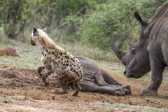 Spotted hyaena and white rhinoceros in Kruger National park, Sou Royalty Free Stock Photography