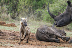 Spotted hyaena and white rhinoceros in Kruger National park, Sou Stock Image