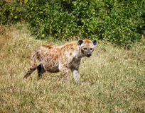 Spotted Hyaena in wild Stock Photos
