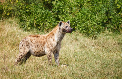 Spotted Hyaena in wild Royalty Free Stock Photography